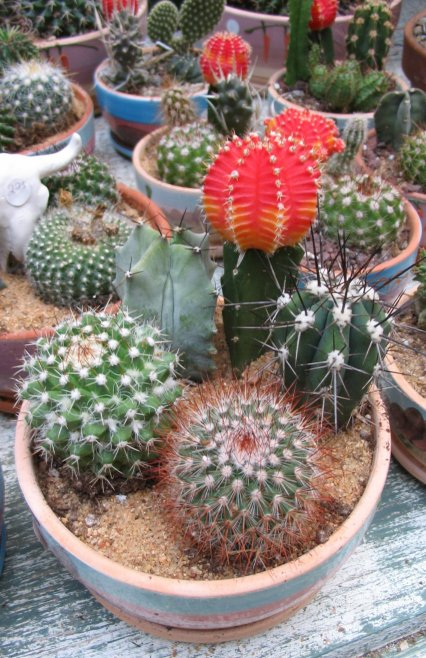 This Is A Really Pretty Cactus Dish Isn T It Okay The Bright Red Top Of Grafted Little Weird But Over Time I Have Grown To Like Some